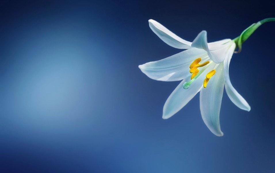 Vanille pflanze weiß